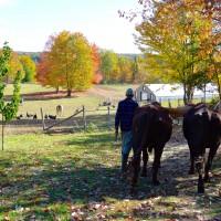 Gil Whitehead Winterberry Farm oxen Christmas trees
